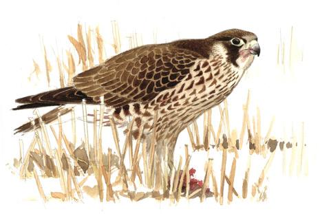 bilder norske fugler