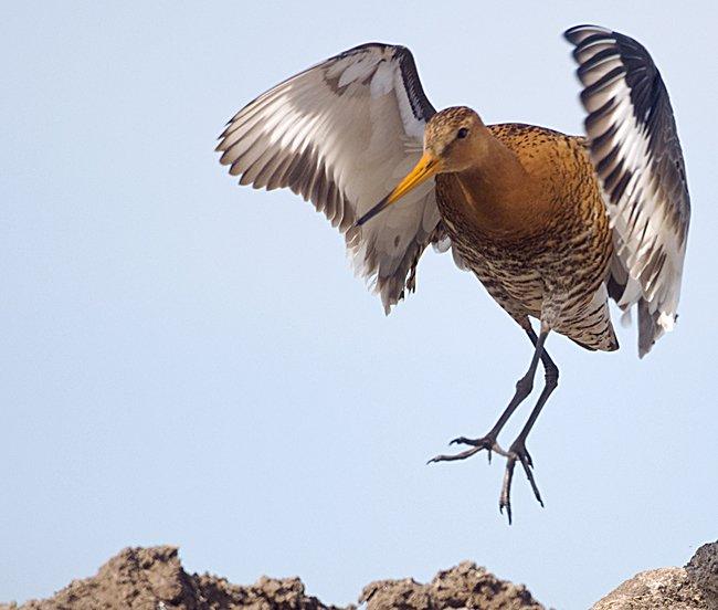 Ornitologi